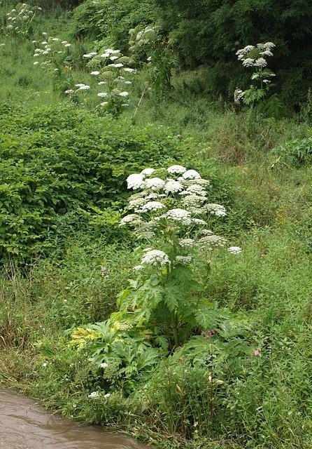 giftige Pflanzen * Bärenklau